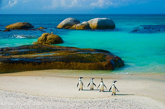 Penguins in South Africa, so adorable.