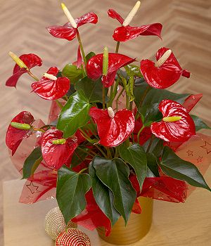 Christmas Anthurium Plant - A unique Christmas red Anthurium plant with waxy green foliage in a festive gold ceramic plant pot. #christmas #flowers #bunchesuk