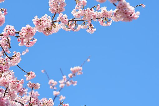 Low Angle View Of Cherry Blossom Against Blue Sky Wallsauce Uk Cherry Blossom Blossom Sky