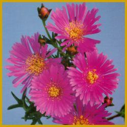 Mittagsblume, eine #Sukkulente mit prächtigen Blüten.  Es gibt viele Pflanzen, die den Namen #Mittagsblume tragen, bei allen öffnen sich die leuchtenden Blüten am Mittag, bei Sonnenschein  http://www.gartenschlumpf.de/mittagsblume/
