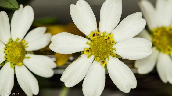This tiny flower has tiny flowers