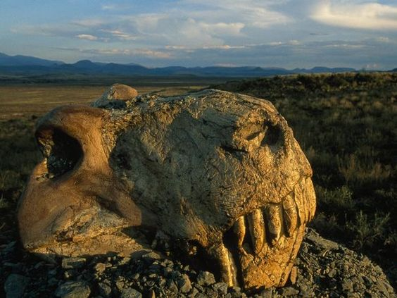 Strange animals of Life Before Dinosaurs (Permian Period) Dinogorgon Skull Photograph by Jonathan Blair A quarter of a billion years ago, long before dinosaurs or mammals evolved, the 10-foot (0.3-meter) predator Dinogorgon, whose skull is shown here, hunted floodplains in the heart of today's South Africa. In less than a million years Dinogorgon vanished in the greatest mass extinction ever, along with about nine of every ten plant and animal species on the planet.