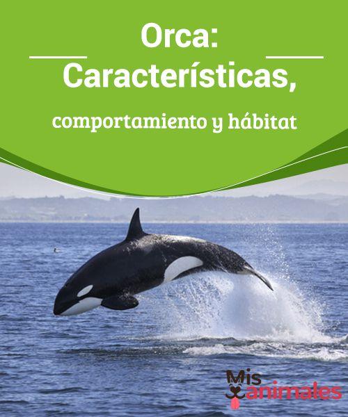 Orca Características Comportamiento Y Hábitat Mis Animales Orca Caracteristicas De Las Ballenas Orcas