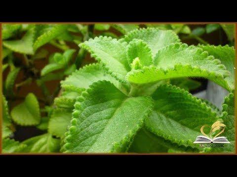 para que sirve el oregano orejon como planta medicinal