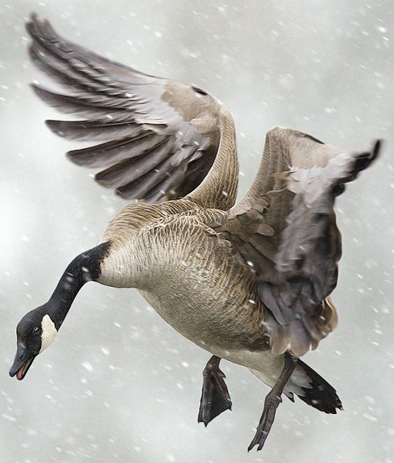 Tactics for Hunting Big River Geese | Outdoor Life