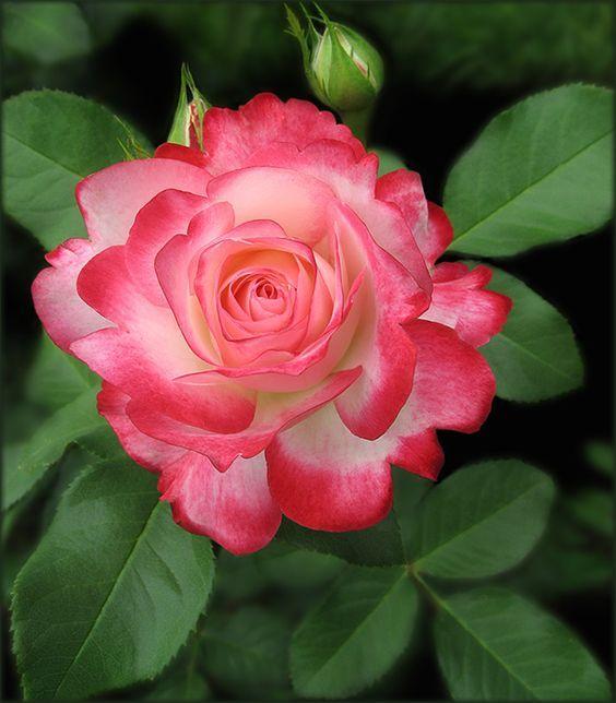 Https Www Facebook Com Wonderfulfgabt Kateown Photos A 476619209387620 1208959792820221 Type 3 Beste Blumen Blumen Rosen Liebe Blumen
