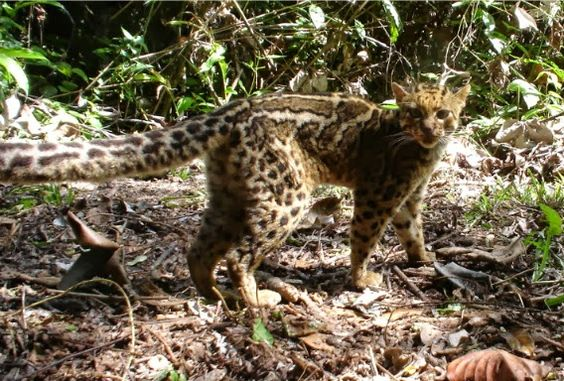 Marbled Cat-Pardofelis Marmorata | Enter your blog name here