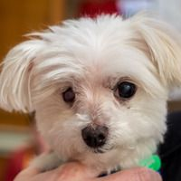 Adoptable Cute Muttville mutt: Cotton 2911 (Maltese | Male | Size: toy (under 6 lbs)) www.muttville.org