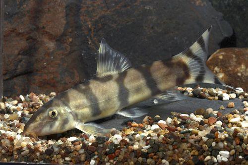 Picture Of Emperor Botia Lrg Botia Udomritthiruji Aquarium Fish Freshwater Aquarium Fish Tropical Fish