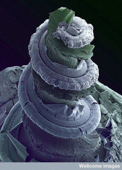 Fractal spiral - Cochlea from Inner Ear. Color-enhanced scanning electron micrograph of the inside of a guinea pig inner ear showing the hearing organ, or cochlea. Running along the spiral structure are rows of sensory cells which respond to different frequencies of sound. The whole organ is just a few millimeters long.: