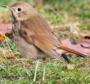 Hermit Thrush -State Bird of Vermont