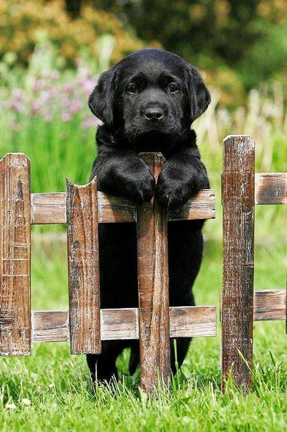 Little black lab waiting for his master.