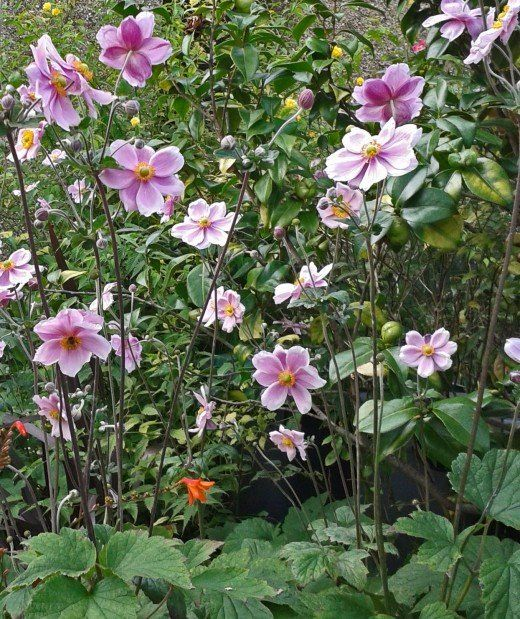 Anemone Japonica Can Spread Quickly Through Suckers And Self Seeding So Keep An Eye On Their Growth Unless You Want Them To Take Over Y