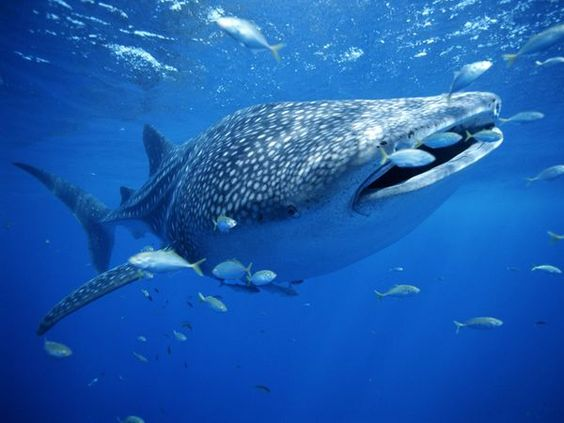 Whale sharks are one of the bigger fish to be seen in Thailand's waters.