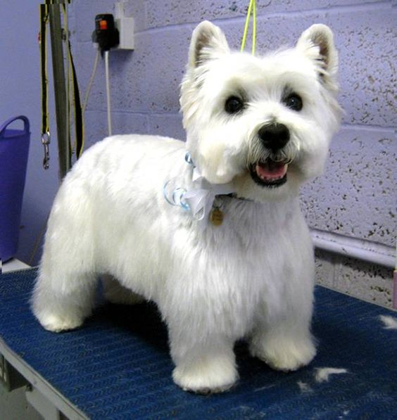 Image Gallery westie haircuts