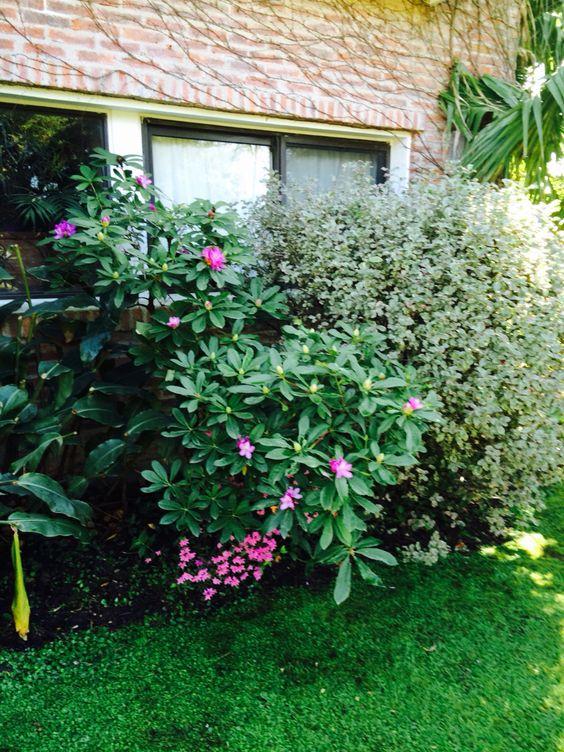 Rododendro y mini azalea
