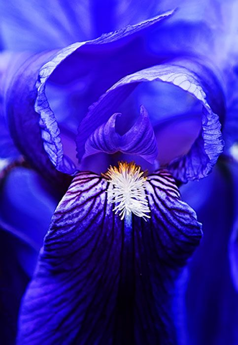 German Iris: