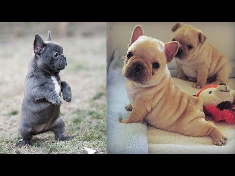 Funny And Cute French Bulldog Puppies Compilation 1 Cutest