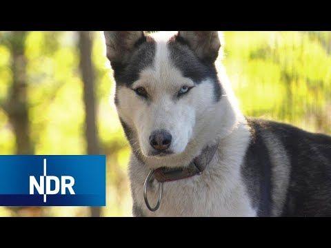 Herz Fur Hunde In Niedersachsen Die Husky Retter Typisch Ndr Doku Youtube In 2020 Husky Hunde Lustige Tiere