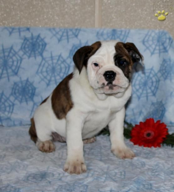 Mandy English Bulldog Hybrid Puppy For Sale In Bird In Hand Pa