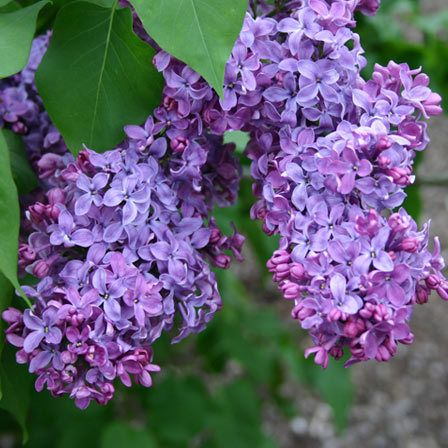 Top 15 Most Beautiful Lilac Flowers