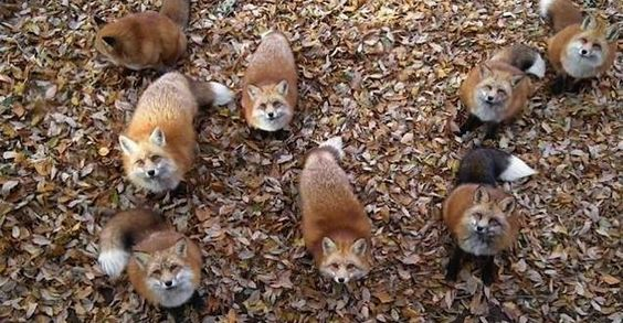 You Can Play With Foxes All Day At This Sanctuary In Japan.   Now I really want to go there, along with the cat cafes.