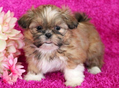 Shih Tzu Puppy For Sale In Mount Joy Pa Adn 59745 On Puppyfinder