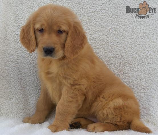Pin By Dariel Jacobs On Doggies Golden Retriever Golden