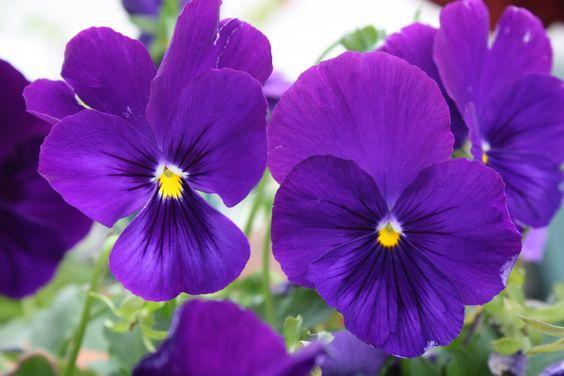 Viola- johnny jump-ups- purple yellow center