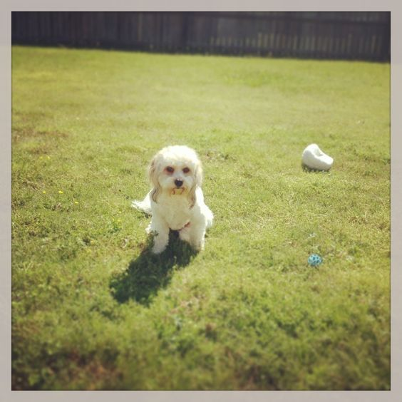 My sweet Cavachon, Harley :-)