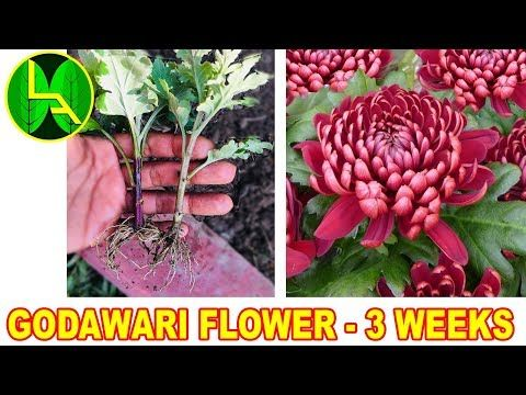How To Grow Chrysanthemum Or Godawari Flower At Home Youtube Medicinal Plants Flowers Planting Flowers