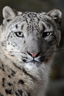 Snow Leopard | Mark Dumont