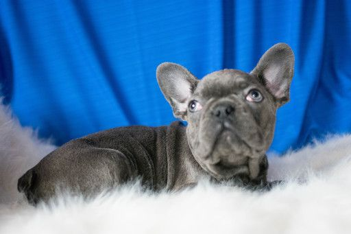 French Bulldog Puppy For Sale In Kent Oh Adn 66333 On