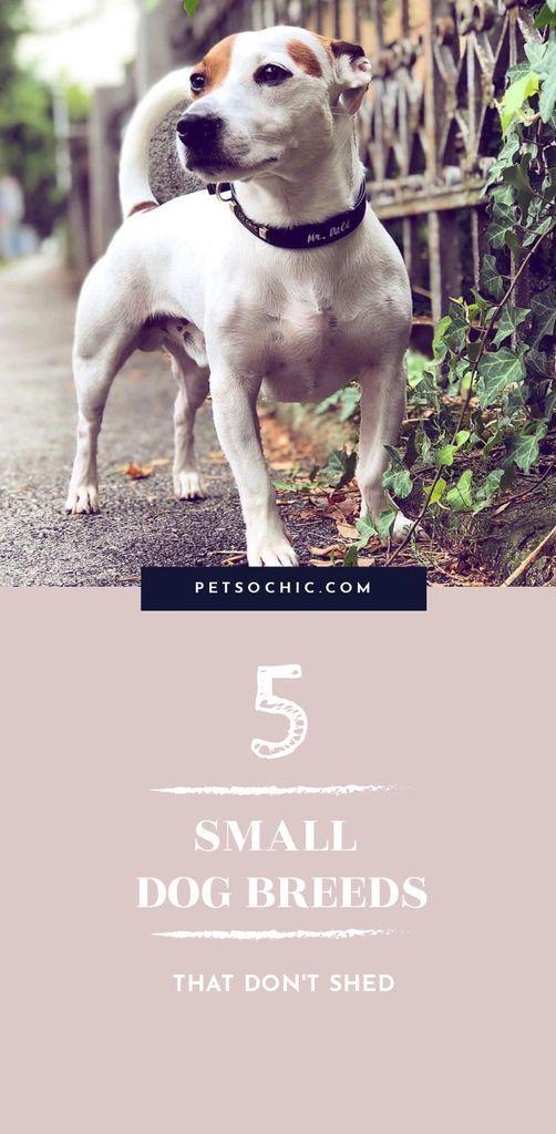 5 Small Dog Breeds That Don T Shed Dog Shedding Dog Breeds Dog