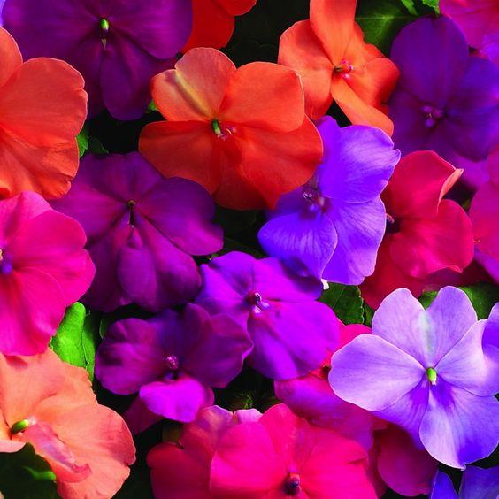 Impatiens Biocarve Seeds Impatiens Flowers Annual Flowers Flower Seeds