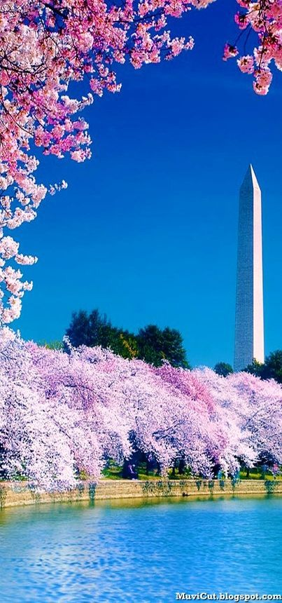 Cherry Blossom Festival in Washington DC