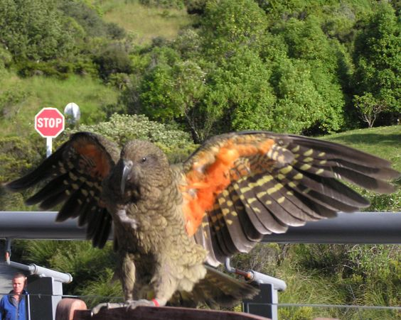 This Kea was showing his colors on a fencepost in Te Anau when I caught him.  I think they are gorgeous birds.