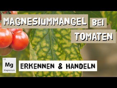 Magnesiummangel Bei Tomaten Erkennen Und Handeln Expertenwissen Youtube In 2020 Tomaten Magnesium Magnesiummangel