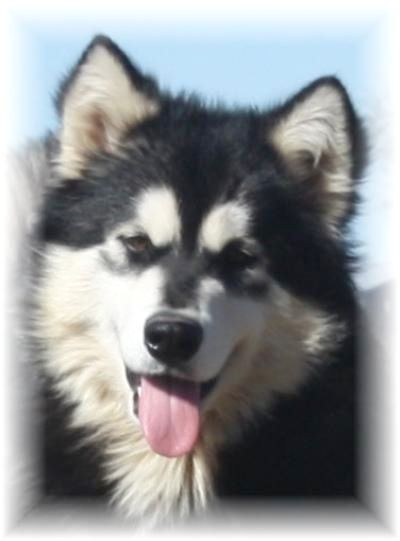 Idea By Dog Is Life On Alaskan Malamute Malamute Puppies Giant Alaskan Malamute