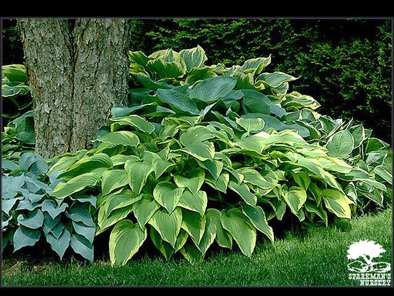 I would like to plant different varieties of Hostas around various beds.  The have a strong root ball and are great to fill in landscape!  They bloom once in early Summer!