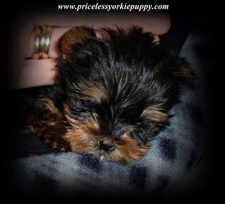 Teacup Yorkie Puppies For Sale In Michigan Michigan Yorkie Breeder