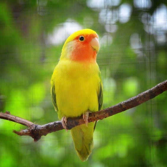bird peach breast