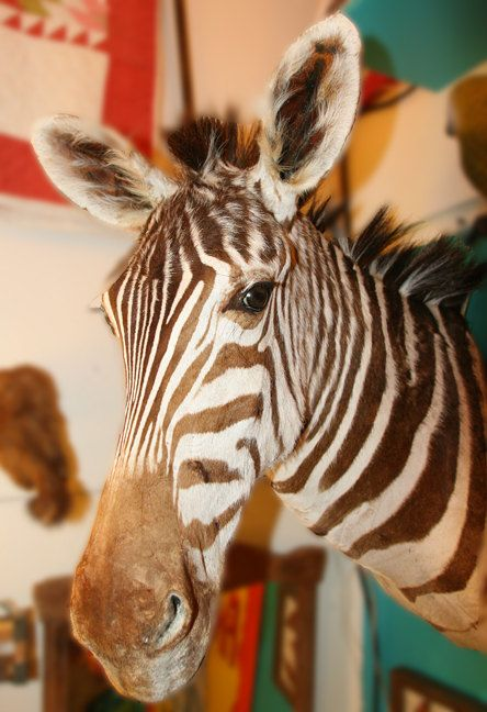 Vintage Taxidermy Zebra Mount by mammothcurios on Etsy, $3200.00