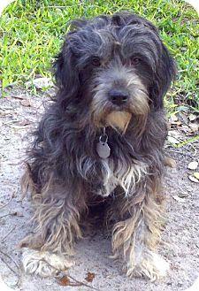 Rockport, TX - Standard Schnauzer/Terrier (Unknown Type, Medium) Mix. Meet HARLEIGH a Dog for Adoption.