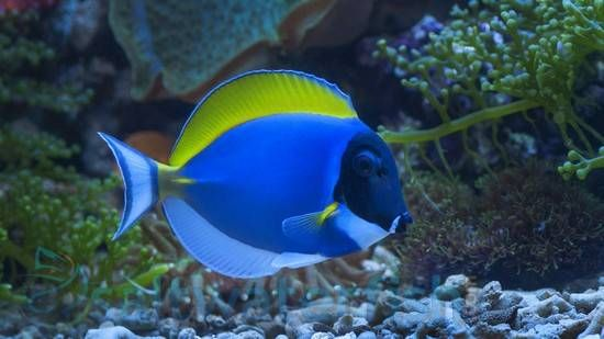 The Powder Blue Tang Acanthurus Leucosternon Also Known As The Powder Blue Surgeonfish Has A Disk Shaped Body Featuring Blue Tang Face Outline Powder Blue