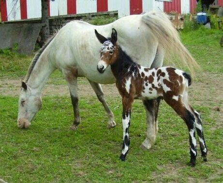 Tennessee Walker Mule Foal, Scarlet