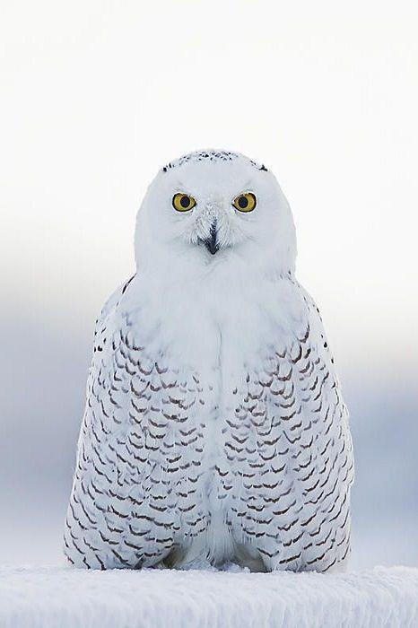 wolverxne:  Snowy Owl - by: (John Vose)