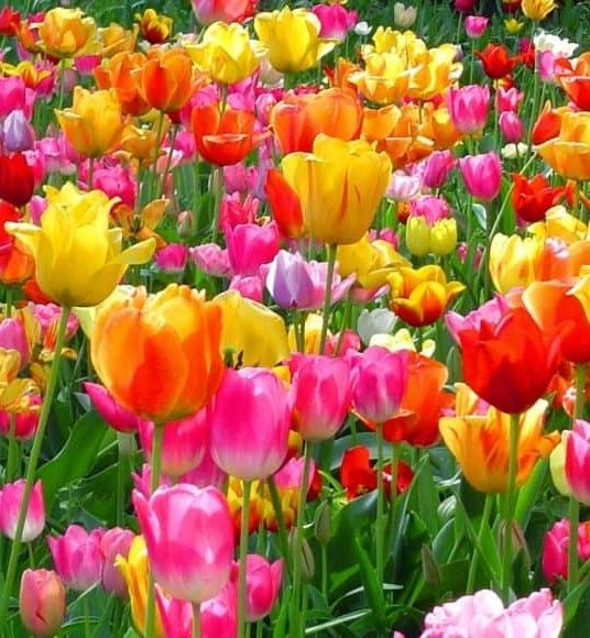 Edible Spring Flowers Are As Attractive When Growing Outdoors As They Are Delicious When Served On A Pl Flower Wallpaper Tulips Flowers Most Beautiful Flowers