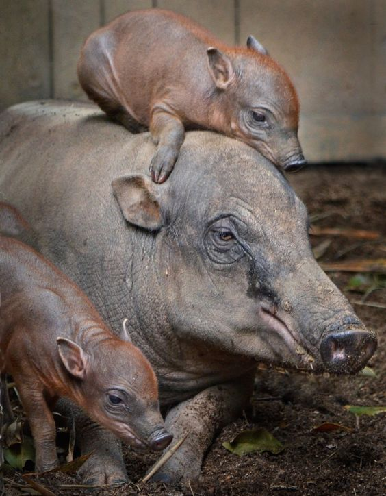 — While they are members of the pig family, babirusa...: