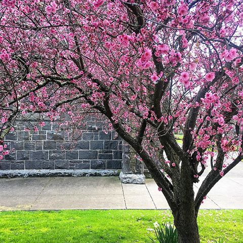 Live Cherry Blossom Season Blossom Flower Flores Flowers Lifestyle Life Love Spring Australia Spring Cherry Blossom Season Instagram Instagram Photo